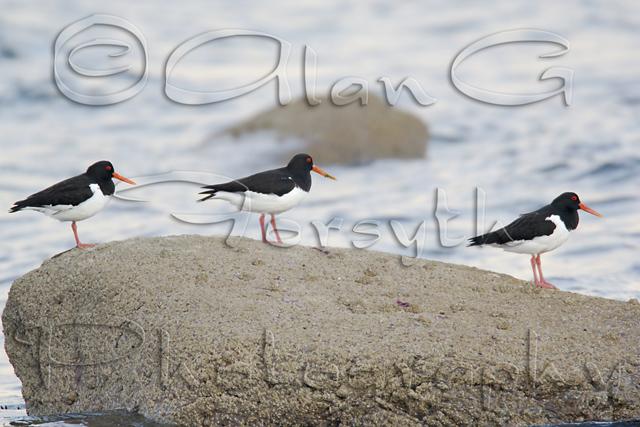 Three Oystercatchers on Clyde shoreline
