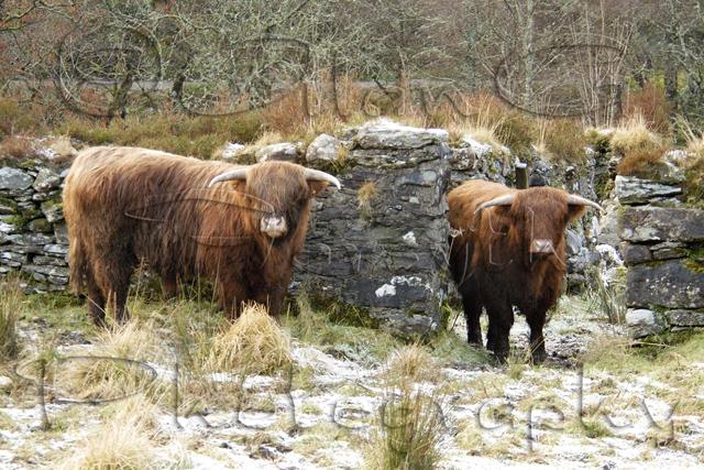 Highland cattle, Argyll