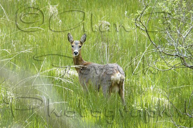 Roe Deer, Isle of Mull