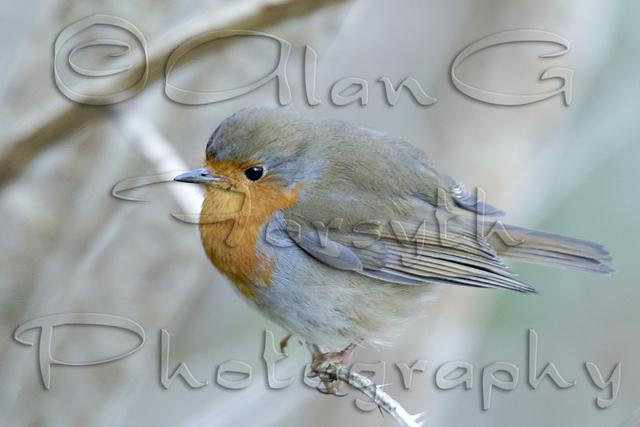 Robin, Isle of Mull