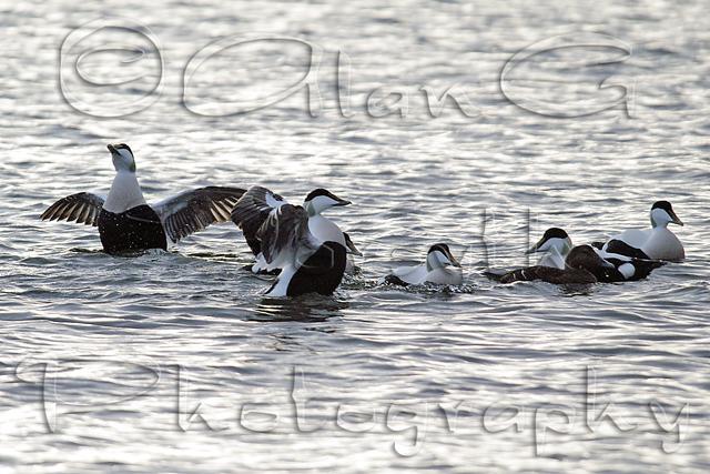 Eider Ducks, River Clyde