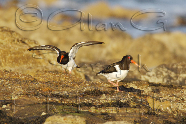Two Oystercatchers, Clyde shoreline