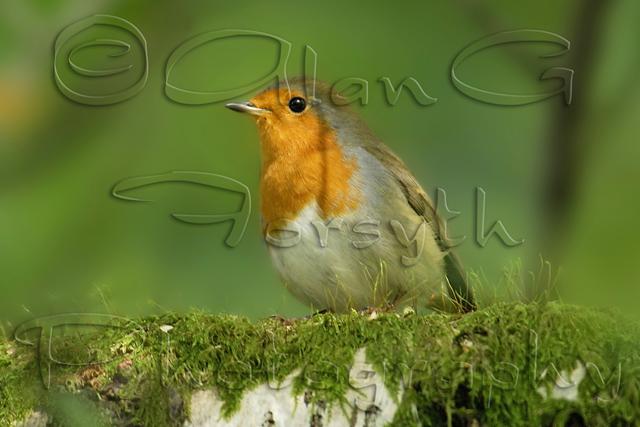 Robin at Pucks Glen, Dunoon