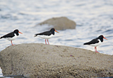 Three Oystercatchers on Clyde shoreline