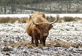 Highland Cow, Argyll