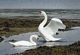 Mute Swans, Loch Long