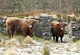 Highland cattle, Argyll