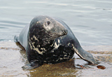 Grey Seal, Isle of Mull