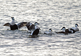 Eider Ducks, River Clyde