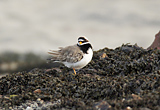 Ringed Plover, Clyde shoreline