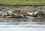 Common Seals, Kyles of Bute