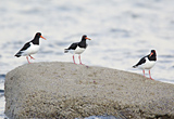 Threee Oystercatchers, Clyde shoreline