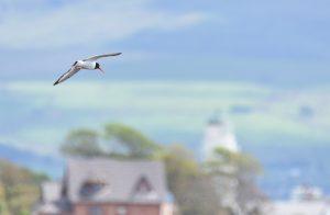 Oystercatcher over Toward