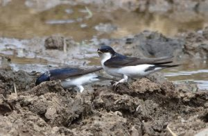 Housemartins Collecting Mud