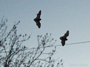 Pipistrelle Bats