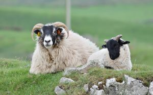 Sheep at Machrihanish, Kintyre, Argyll