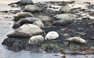 Common Seals at Machrihanish, Kintyre, Argyll