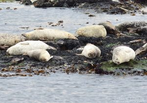 Common Seals at Machrihanish, Kintyre, Argyll