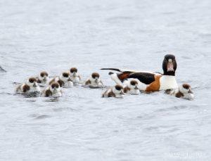 Shelduck with Ducklings