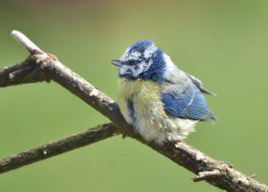 Blue Tit (juvenile)