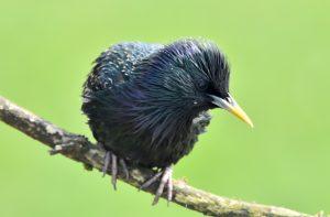 Starling