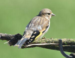 Goldfinch (juvenile)