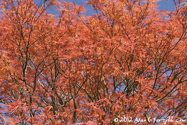 Japanese maple in spring colours