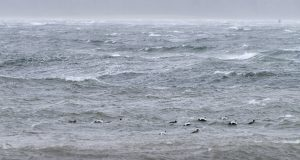 Eider Ducks Riding the Storm